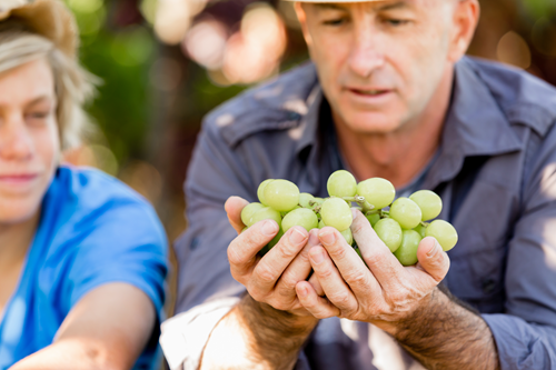 Father and son with grapes at a winery